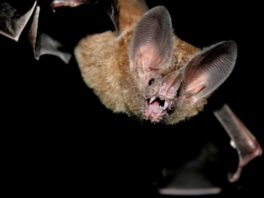 "A fringe-lipped bat, ""Trachops cirrhosus"" (Photo: Lars Heiden/ STRI)"